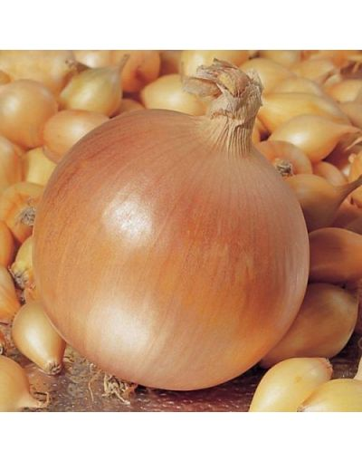 Taylors Bulbs Loose Pink Panther Onion Sets 21-24 200G