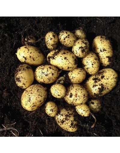 Taylors Bulbs Albert Bartlett Jazzy Seed Potatoes 2KG Pack