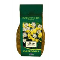 Taylors Bulbs Narcissus Fragrant Cheer 2KG