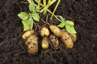 Potatoes in Soil