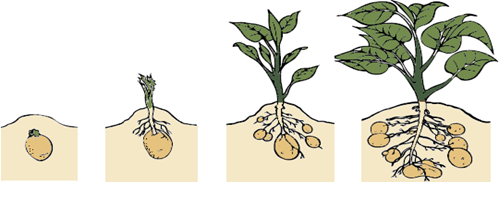 Potatoes growing